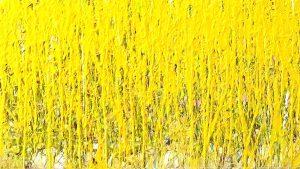 wheat field2